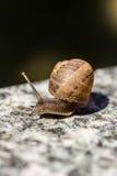 Macro snail Royalty Free Stock Image