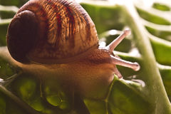 Macro snail Stock Photography