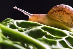 Macro snail Royalty Free Stock Images