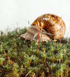 Macro of snail in moss Stock Photos