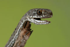 A macro of a snake. A macro of a small snake on a green background Royalty Free Stock Photo