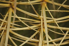 Macro snippet. Echinocactus grusonii Hildm (Golden Barrel Cactus, Golden Ball, Mather-in-Law's Cushion) Stock Photos