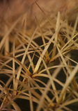 Macro snippet. Echinocactus grusonii Hildm (Golden Barrel Cactus, Golden Ball, Mather-in-Law's Cushion). Macro photograph of a detail of a large spherical green royalty free stock photos