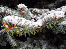 Macro. Snow winter spikes tree nature cold frost flora Royalty Free Stock Image