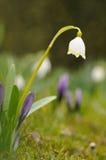 Spring snowflake (Leucojum vernum) Stock Photos