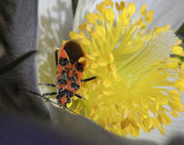 Macro of snowdrop. Macro of spring snowdrop plant and bug stock photo
