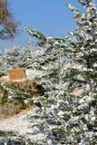 Macro Snowy Pine tree Stock Image