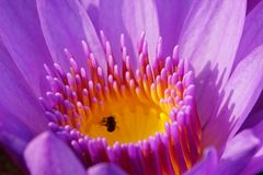 Macro image of soft purple color water lily flower. Macro image of soft purple color water lily flower with pistil stock images