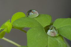 Macro of some clovers. This photo shows in great detail all the textures of the clovers, besides the drops of water are a great touch Royalty Free Stock Photos