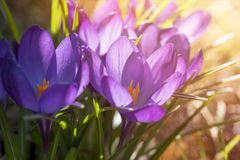 Some purple crocuses in spring. Macro of some purple crocuses in spring Stock Photo