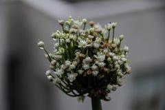 Macro of some white tiny flowers Royalty Free Stock Photo