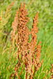 Macro sorrel horse on a green background. Rumex acetosa. Macrio sorrel horse on a green background. Rumex acetosa Stock Images