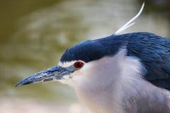 Macro sparando ancora uccello blu Immagini Stock