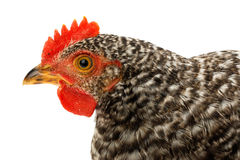 Macro of speckled pullet head Stock Photo