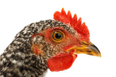 Macro of speckled pullet head Stock Images