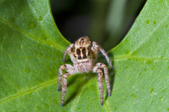 Macro Spider. Royalty Free Stock Images