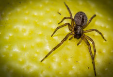 Macro of a spider Royalty Free Stock Photo