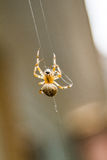Macro of a Spider doing a Spiderweb Royalty Free Stock Photo