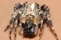 Macro spider eating a trapped fly Stock Photos