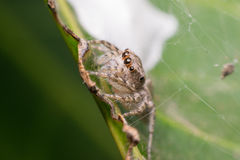 Macro of spider insect focus at eye Royalty Free Stock Images