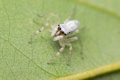 Macro of spider insect focus at eye Royalty Free Stock Photo