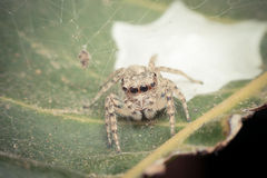 Macro of spider insect focus at eye Royalty Free Stock Image