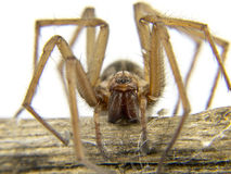 Macro of a spider (Lycosidae Licosas) on a branch. With white background Stock Images