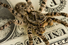 Macro of spider over dollar bank note Stock Photography