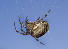 Macro of spider on web Royalty Free Stock Image