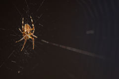 Macro spider on the web Royalty Free Stock Photos