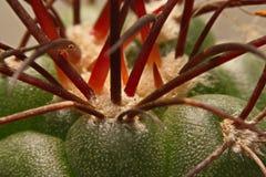 Macro spine del cactus, fine sulle spine del cactus, cactus Backgroun Fotografie Stock