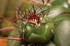Macro spine del cactus, fine sulle spine del cactus, cactus Backgroun Fotografia Stock Libera da Diritti