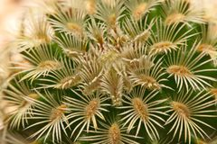 Macro spine del cactus, fine sulle spine del cactus, cactus Backgroun Immagini Stock