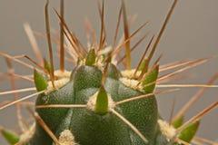 Macro spine del cactus, fine sulle spine del cactus, cactus Backgroun Immagine Stock