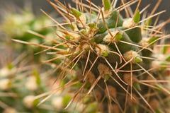Macro spine del cactus, fine sulle spine del cactus, cactus Backgroun Fotografia Stock
