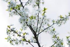 Macro sping de fleur de cerise blanche Photos stock