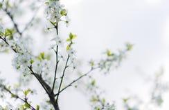 Macro sping de fleur de cerise blanche Photographie stock libre de droits