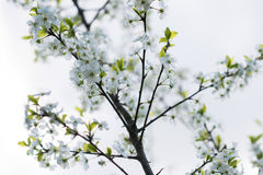 Macro sping del fiore della ciliegia bianca Fotografie Stock