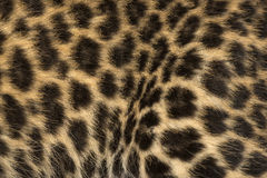Macro of a Spotted Leopard cub's fur - Panthera pardus Stock Images
