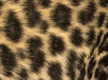 Macro of a Spotted Leopard cub's fur - Panthera pardus Stock Photography