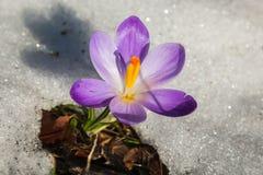 Macro of spring crocus vernus in the snow. Monte Nerone, Marche, Italy, Europe royalty free stock photos