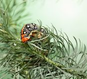 Hornworm on spurge. Macro of spurge hawk-moth caterpillar Hyles euphorbiae eating on spurge twig Euphorbia paralias Stock Photo
