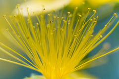 Macro of a St John's wort Stock Photo
