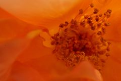 Macro of stamens bright orange climbing roses. Macro of the internal structure of bright orange flower and of stamens caucasian curly varieties of rose petals on Royalty Free Stock Photography