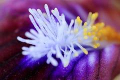 Macro stamens of a flower, irises Stock Photo