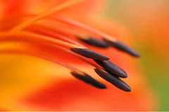 Macro stamens of orange lily Stock Photo