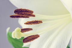 Macro of the stamens and pistil of a tiger lily Royalty Free Stock Photo