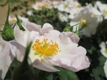 Macro stamens van wilde rozen stock afbeeldingen