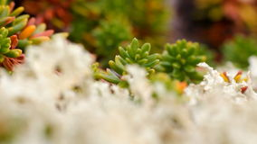 Macro stone vegetation polar leaf summer. Arctic prairie plants  backgrounds of polar bald mountain macro shooting. summer stock video footage