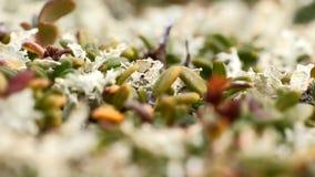 Macro stone vegetation polar leaf summer. Arctic prairie plants  backgrounds of polar bald mountain macro shooting. summer stock footage